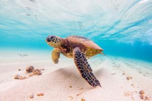 shutterstock-turtle2